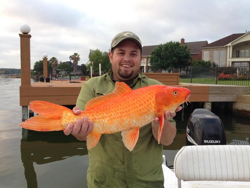 Картинки гиганты золотые рыбки