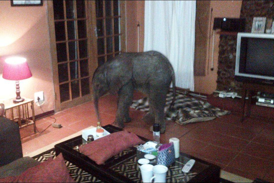 Забавная история о человеке, который держал слона в квартире