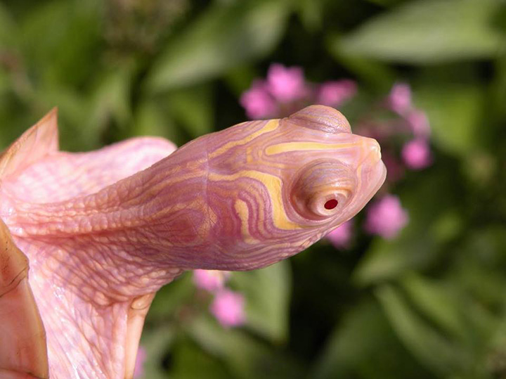 Интернет поразили потрясающие снимки черепахи-альбиноса