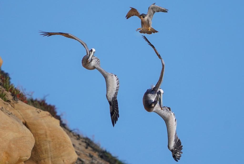 Фотограф запечатлел невероятную воздушную дуэль между соколом и пеликаном