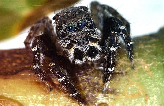 Спасибо за честь – ученые открыли в Австралии нового паука и назвали его в честь Карла Лагерфельда