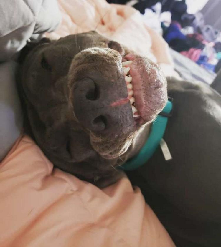 И кто вам сказал, что питбуль - не фотогеничная порода? Необычная собака, которая любит фотографироваться