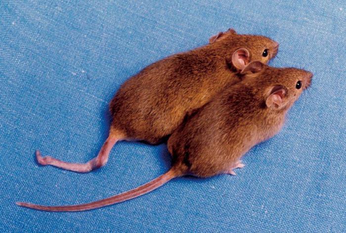 клонирование млекопитающих