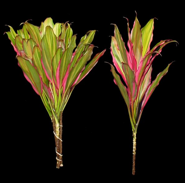 Кордилина киви: описание, фото, особенности выращивания