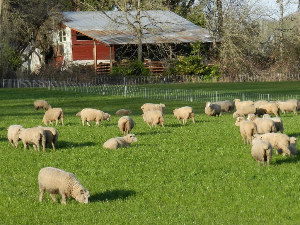 Овцы на ферме