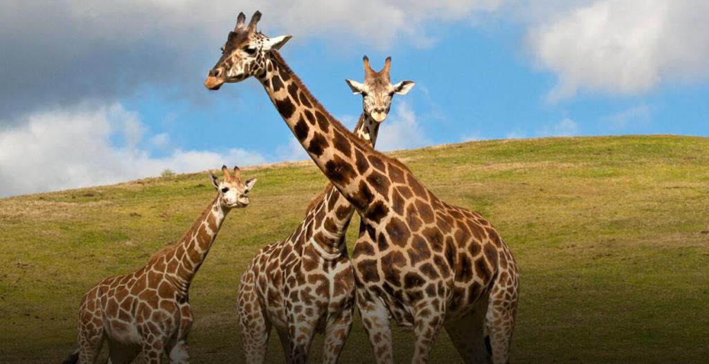 Картинки семья жирафов