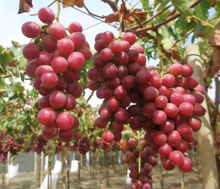 Ред Глоб гроздь
