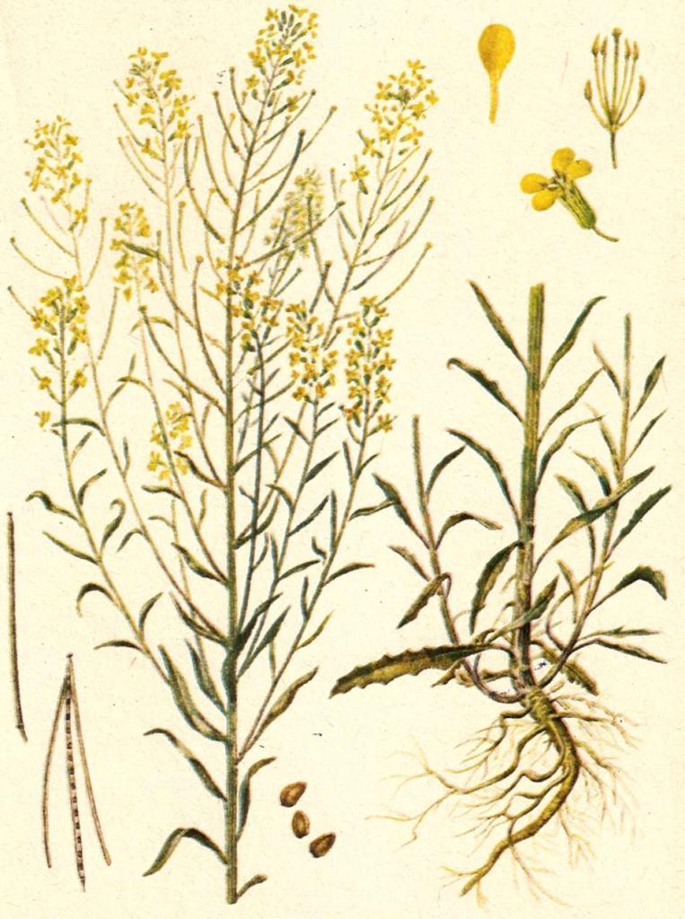 Трава желтушник: лечебные свойства, показания и способы применения, состав, противопоказания