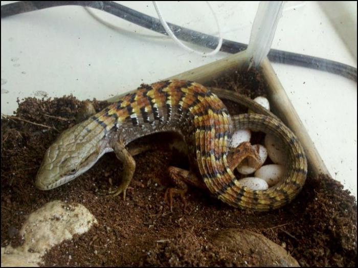 яйца ящерицы в песке