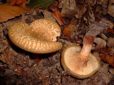 гриб коровьи губы фото и описание