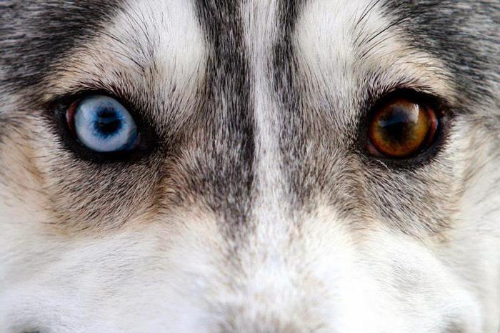 Глаза хаски разного цвета глаза