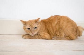 Причины мочекаменной болезни у котов