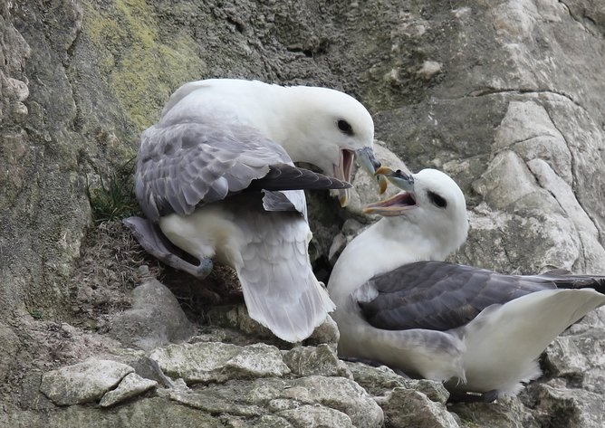 Птица глупыш: описание, среда обитания, питание, фото