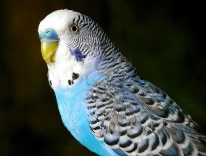 Волнистые попугайчики как научить говорить