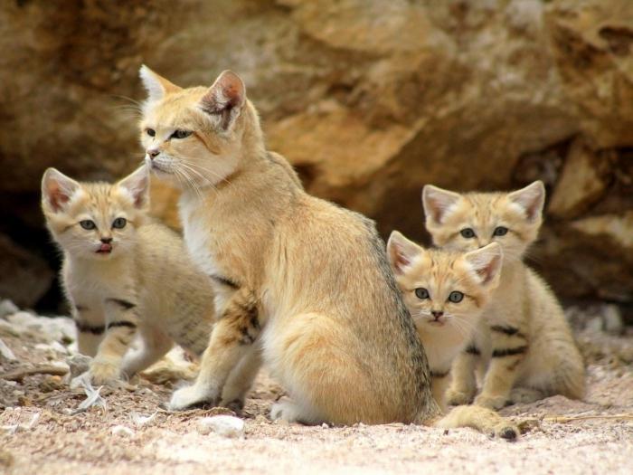 Пустынь.дикий кот