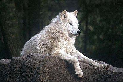 Волк и баран секс