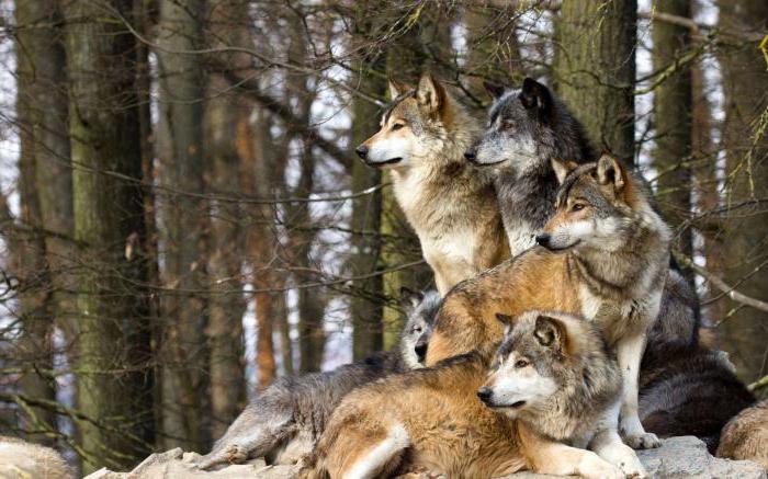 Волки: виды волков, описание, характер, ареал обитания