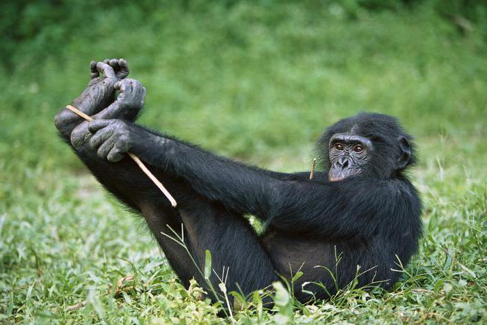 самая умная обезьяна порода