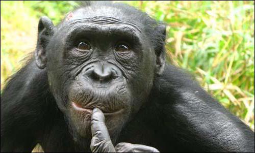 самая умная обезьяна бонобо