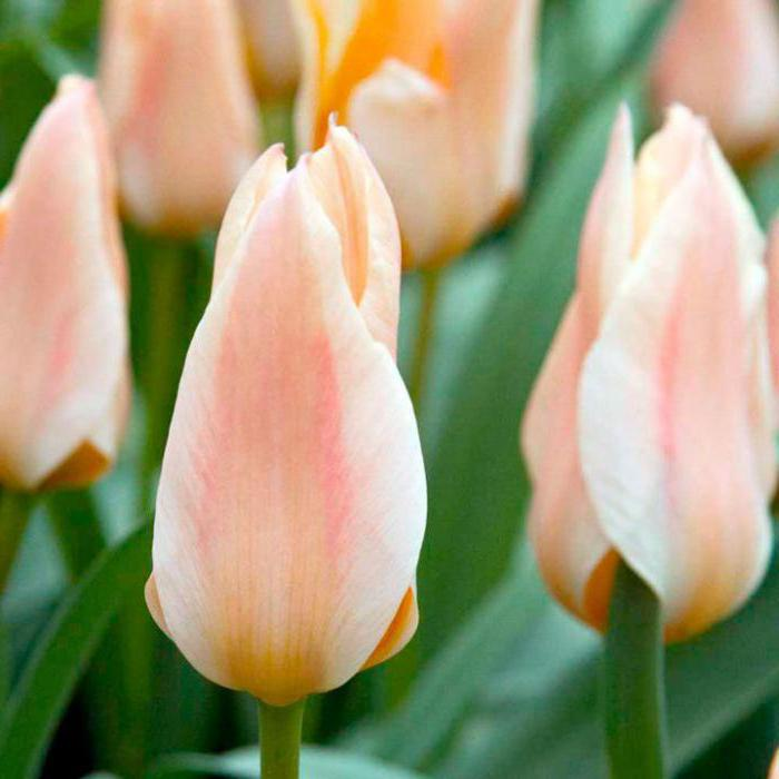 голландские тюльпаны выращивание