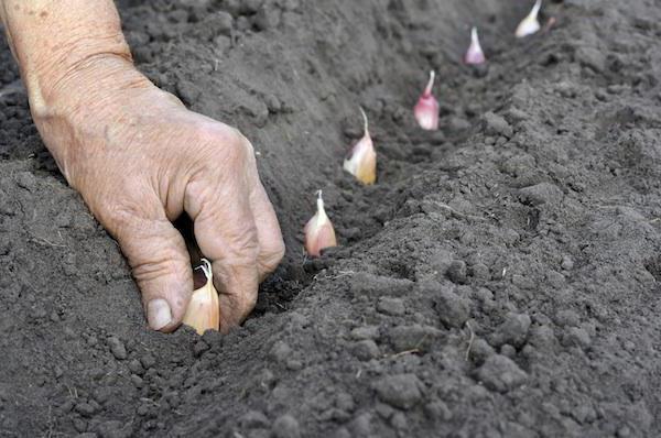 голландские тюльпаны посадка и уход