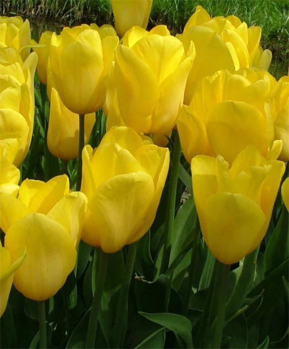 сорта голландских тюльпанов