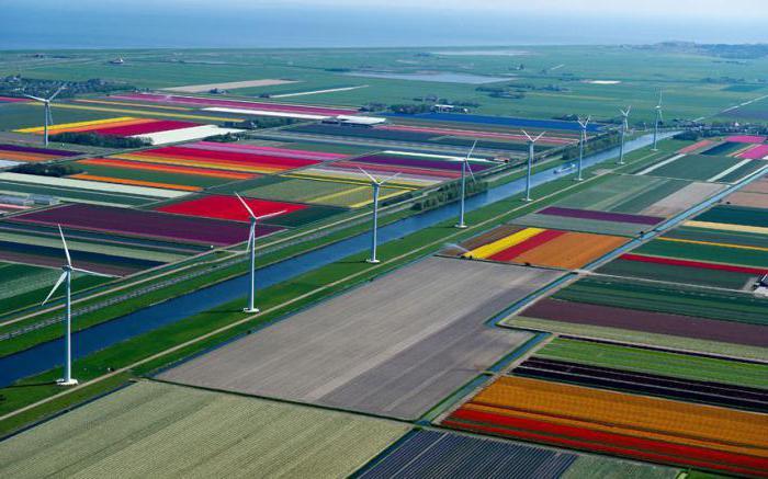 голландские тюльпаны фото