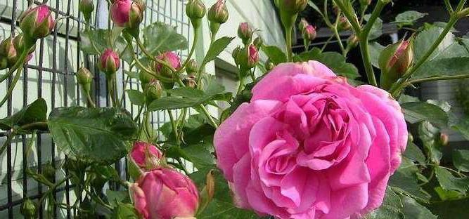 Роза балерина