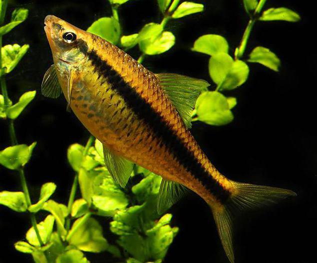 рыбка водорослеед