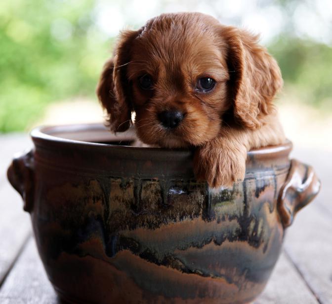 щенок русского спаниеля