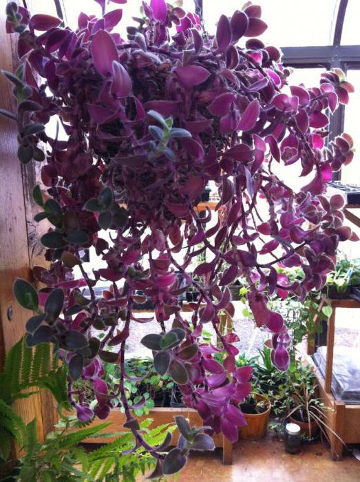 цветы комнатные с плотными листьями названия с фото