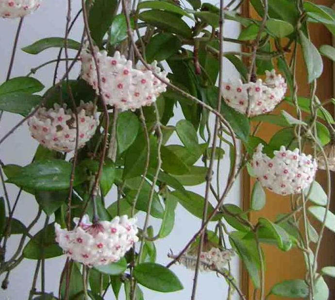 цветы комнатные фото с описанием