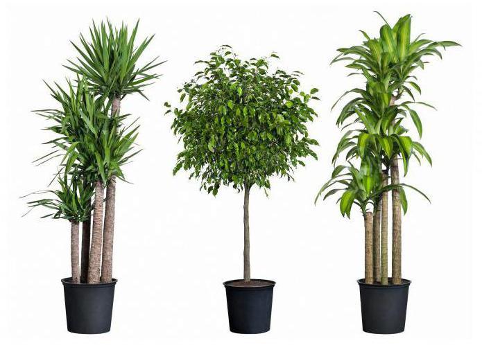 пальма с длинными листьями