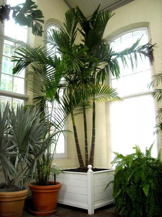 финиковая пальма сохнут листья