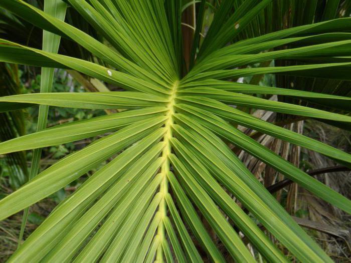 пальма с большими листьями