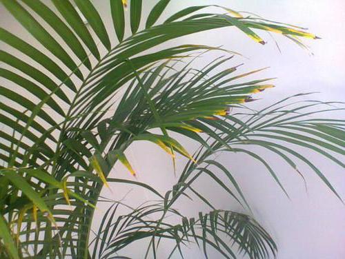 сохнут листья у пальмы