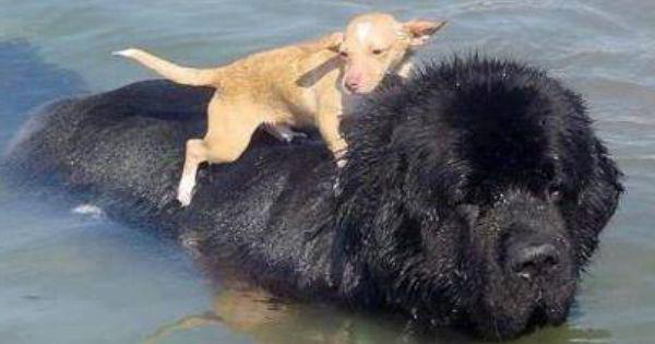 порода собак разновидность ньюфаундленда