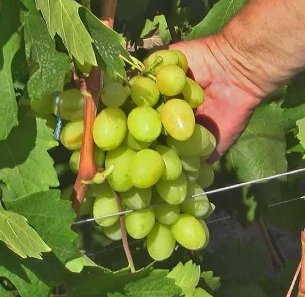 Ландыш виноград