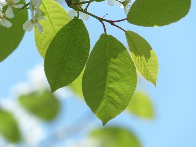 Лечебные свойства черемухи: особенности применения, рецепты и отзывы