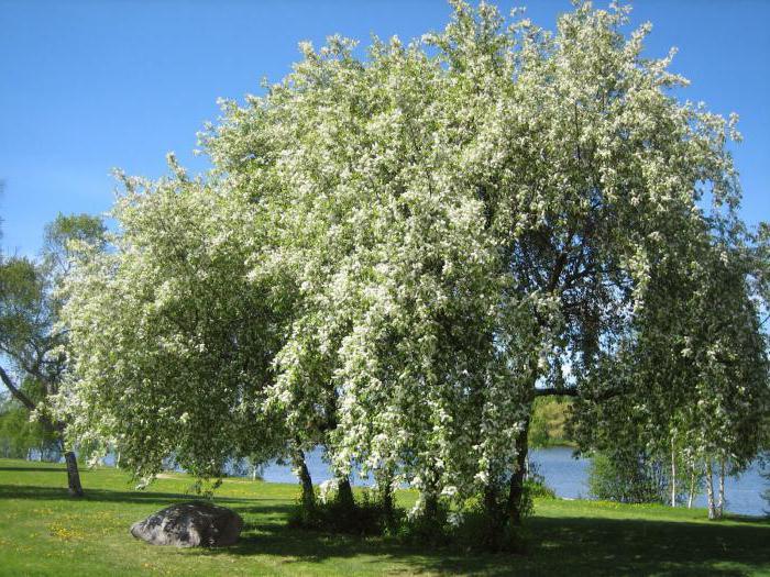 Цветы черемухи лечебные свойства