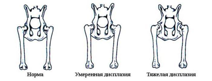дисплазия тазобедренных суставов у собак симптомы лечение