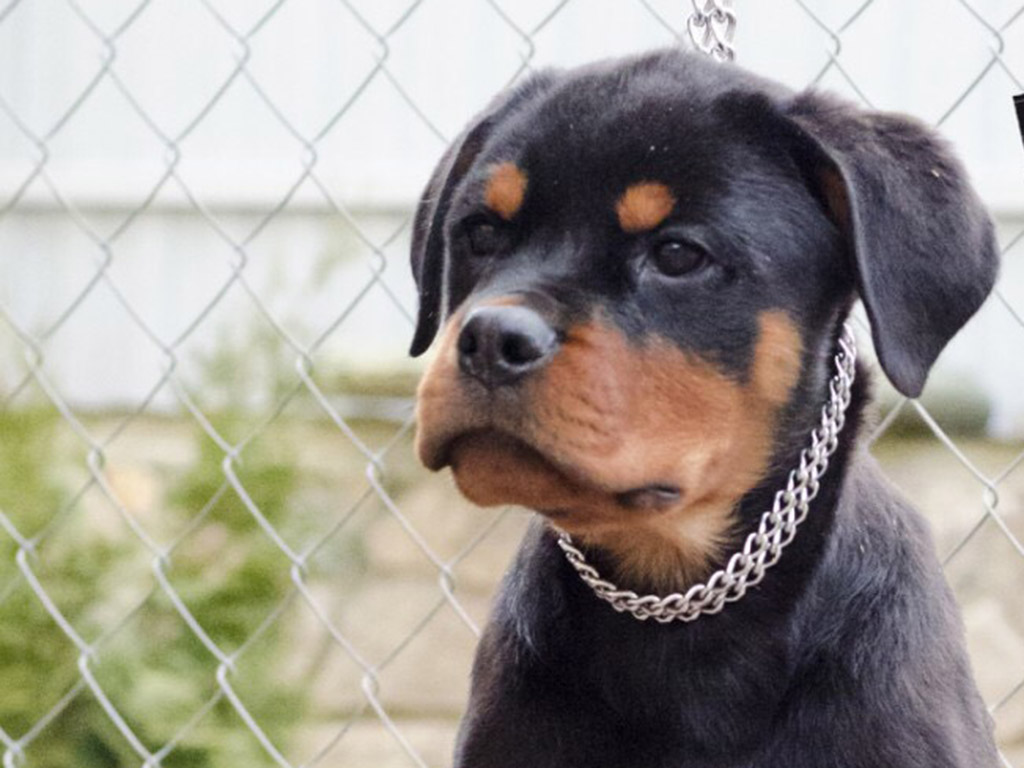 rottweiler dogs for sale - HD 1024×768