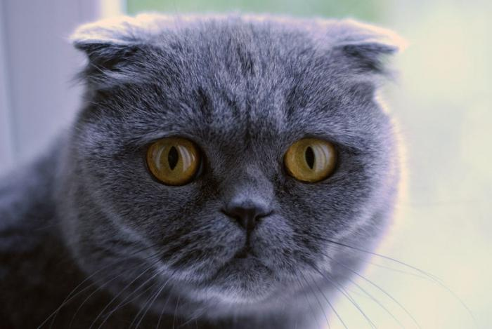 Шотландские вислоухие взрослые коты