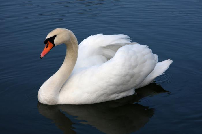 Лебедь фото птица