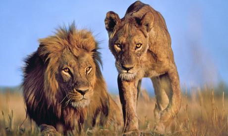 Львы африки секс и размножение