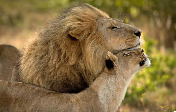 Картинки львы обнимаются