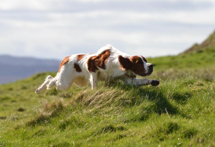 Ирландский сеттер: фото и описание породы