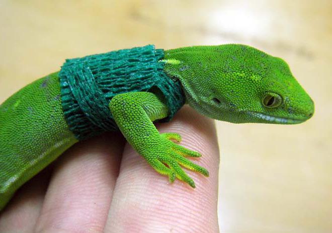 домашний геккон