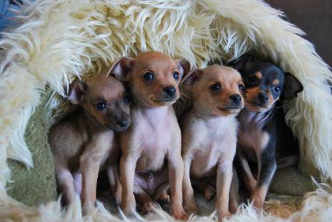 Той-терьер: отзывы. Порода собак той-терьер (фото): http://fb.ru/article/157711/toy-terer-otzyivyi-poroda-sobak-toy-terer-foto