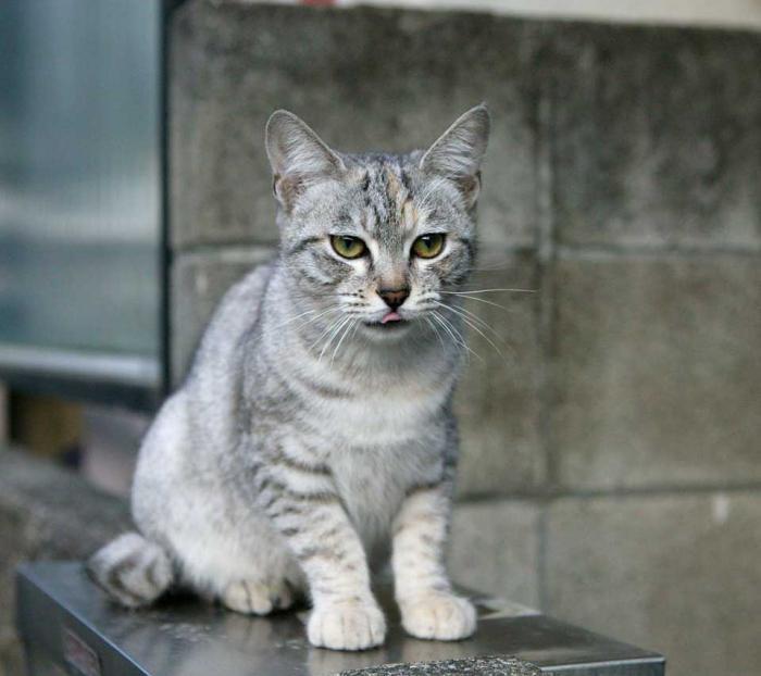 фото кошки дымчатые